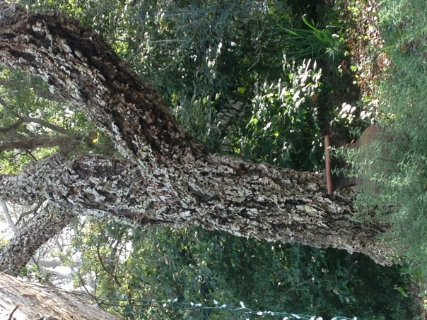 photo of cork oak tree, San Diego Botanic Gardens, fully grown