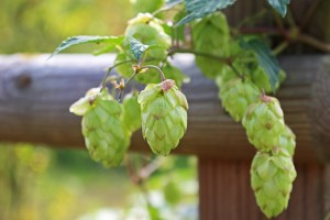beer hops