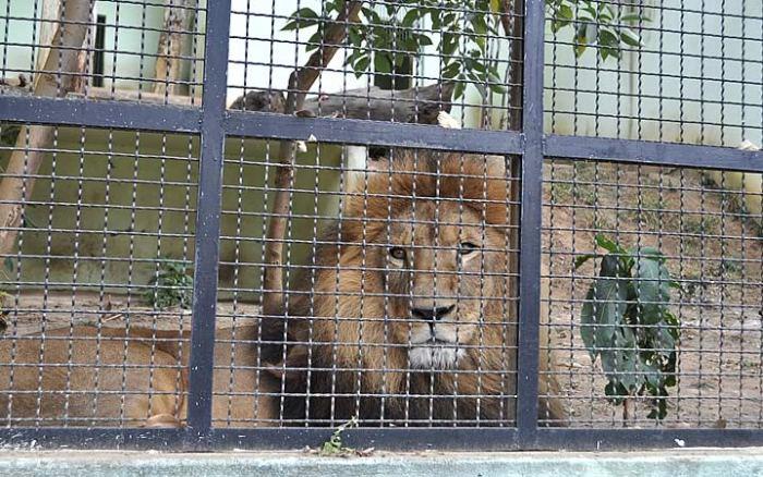 Leão em Jaula no Zoológico Municipal de Varginha
