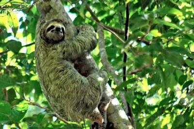 Manuel  Antonio National Park Sloth