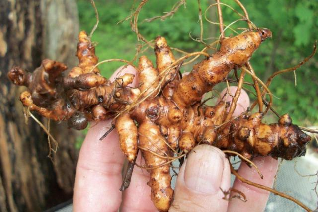 Image Result For How Much Does Ginseng Sell For Per Pound