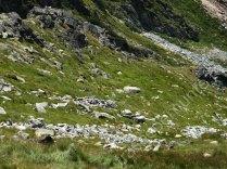 muntii-retezat-capre-negre