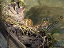 sarpele de apa Natrix Tessellata