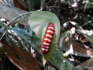 Larva_mariposa__en_Zamia[1]