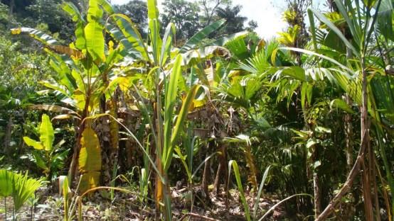 Isabelino recuerda como sus plantaciones fueron destruidas por las aspersiones de glifosato. Aún no ha recibido ningún tipo de compensación. Foto cedida por la Personería de Nóvita