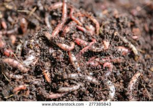stock-photo-red-worms-dendrobena-veneta-277385843