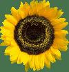 Galabau Mähler Sonnenblume