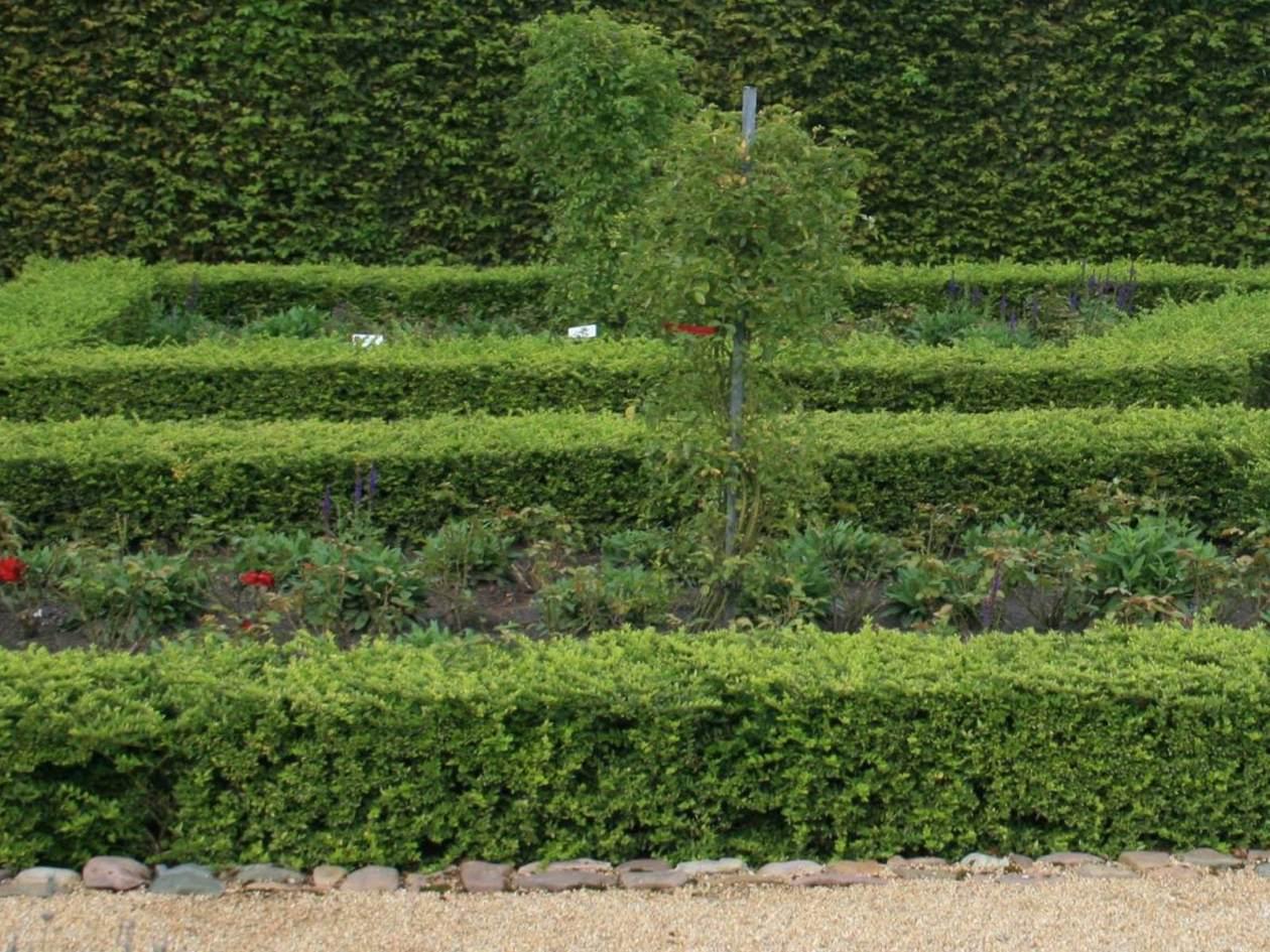 Liguster vulgare Lodense als Ersatz für Buchsbaum