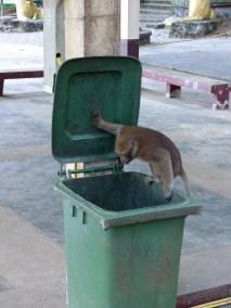 A monkey looking through trash at Wat Tham Pla - The Monkey Temple