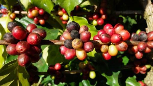 Coffee growing close to Pai