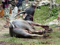 Tana Toraja Funeral Ceremony - sacrificed buffalo dying Christian Jansen & Maria Düerkop