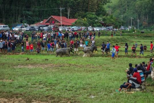Tana Toraja Funeral Ceremony - buffalo fight finals Christian Jansen & Maria Düerkop
