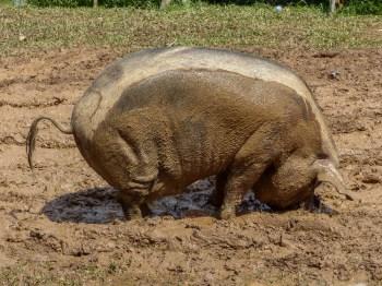 Tana Toraja Funeral Ceremony - happy fat pig Christian Jansen & Maria Düerkop