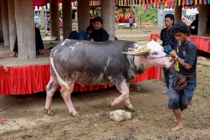 Tana Toraja Funeral Ceremony - albino water buffalo is shown around Christian Jansen & Maria Düerkop