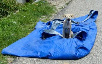 Sumba - watchdog takes care of his blue plane full of drying rice Christian Jansen & Maria Düerkop
