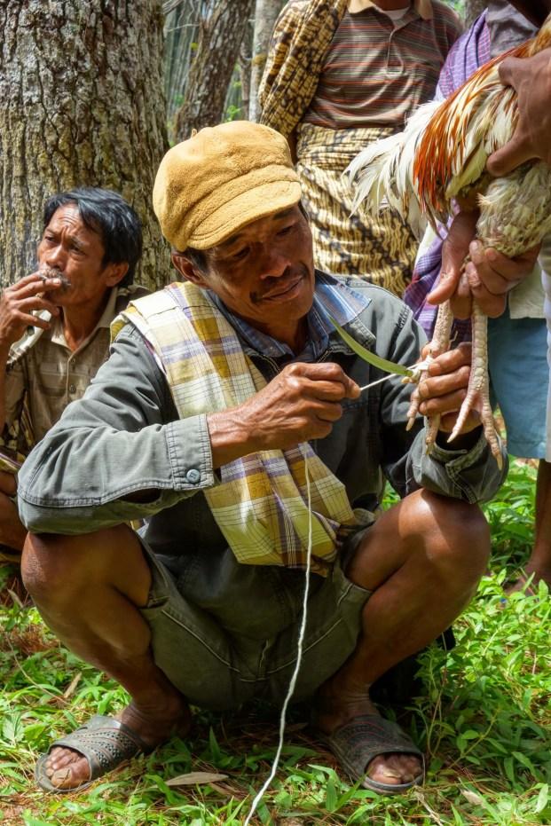 Tana Toraja - preparing the cockfight: attaching a sharp knife to the leg Christian Jansen & Maria Düerkop