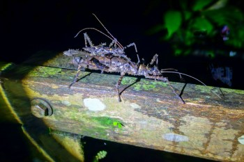 Mulu National Park - huge ancient insects coupling Christian Jansen & Maria Düerkop