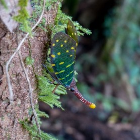 Mulu National Park - colorful lantern bug sitting on a tree Christian Jansen & Maria Düerkop