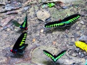 Mulu National Park - swarm of large butterflies Christian Jansen & Maria Düerkop