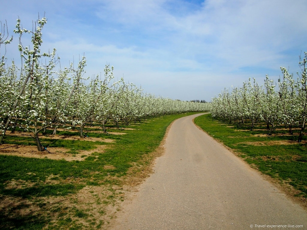 Blossoming orchards in Haspengouw, Belgium