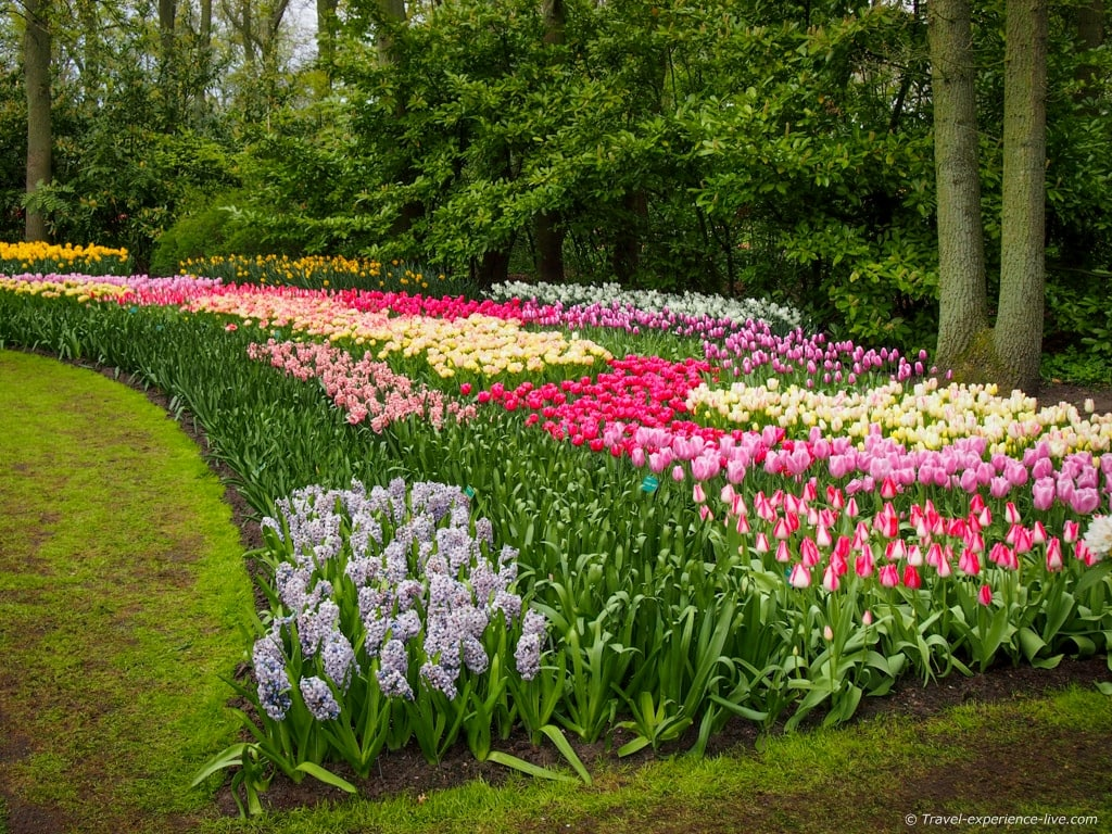 Tulips in all kinds of colors in colorful Keukenhof.