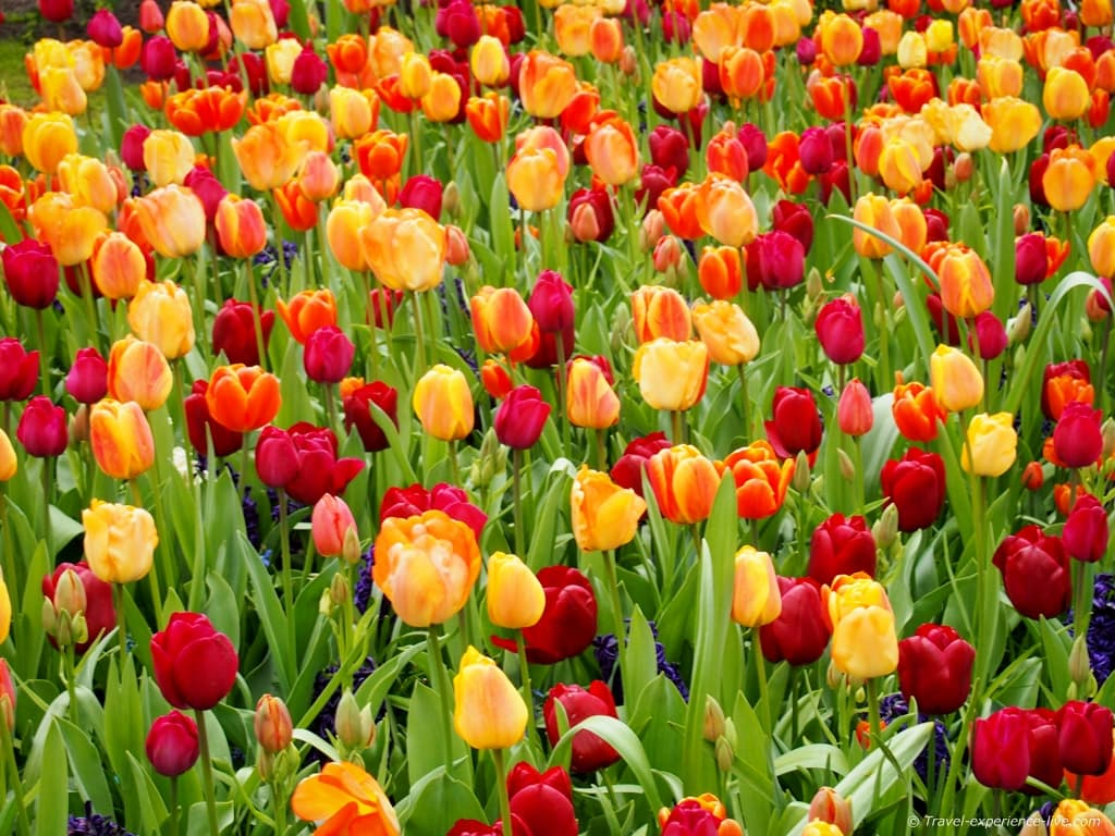 Yellow, orange and red tulips in the Netherlands.
