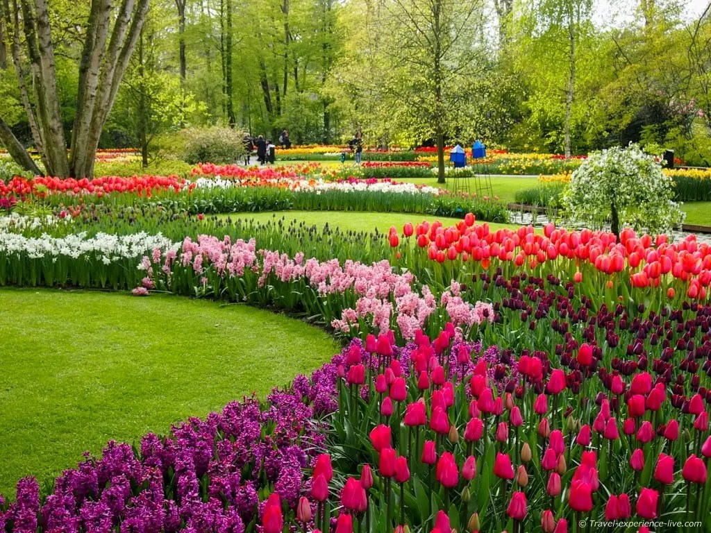 Amazing colorful tulips and hyacinths in Holland.