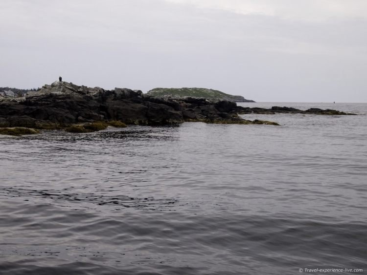 Bald Eagle on the Maine coast.