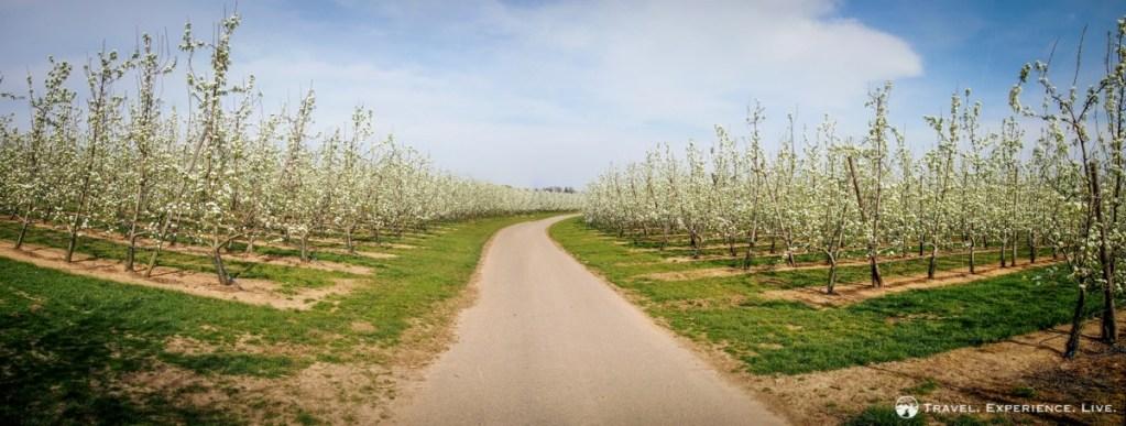 Blossoming fruit trees in Haspengouw, Belgium