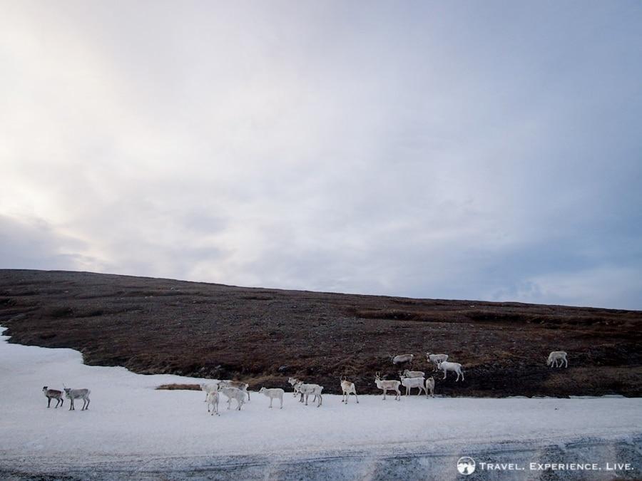 I saw hundreds and hundreds of reindeer