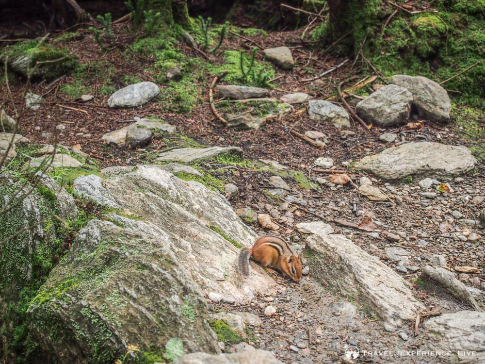 Chipmunk in the Green Mountains, Vermont