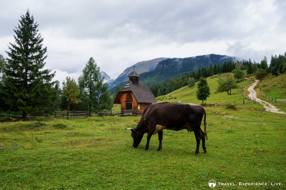 Meadow in Pokljuka, Slovenia