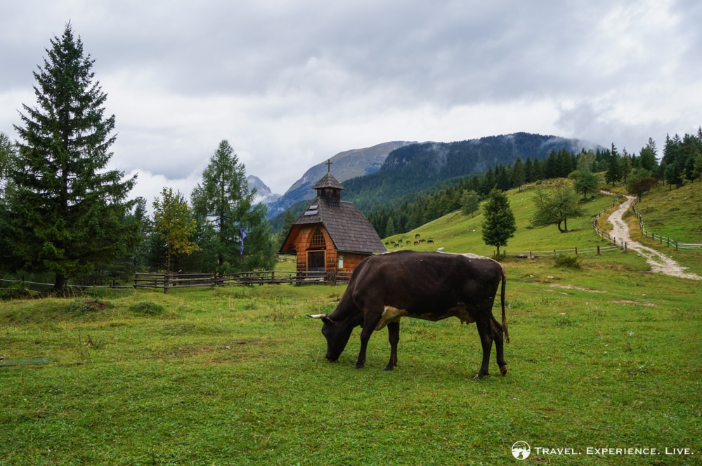 Cow and chapel in Pokljuka, Bohinj