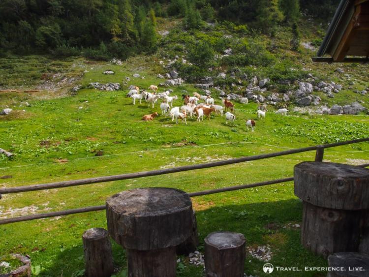 Goats in the Julian Alps