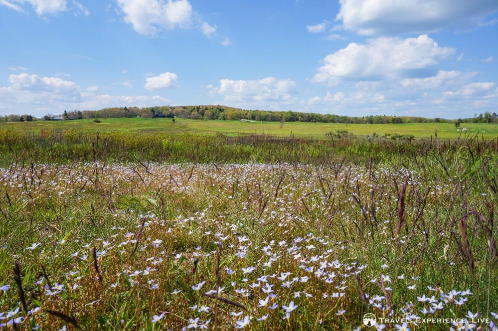 Wildflowers at Big Meadows