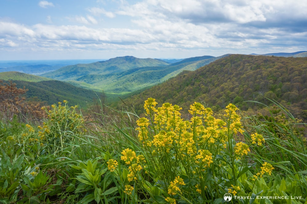 Wildflowers in Shenandoah National Park