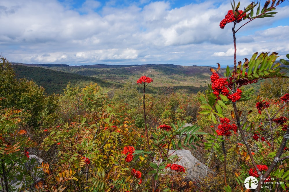 Rowan berries, Grayson Highlands, Virginia