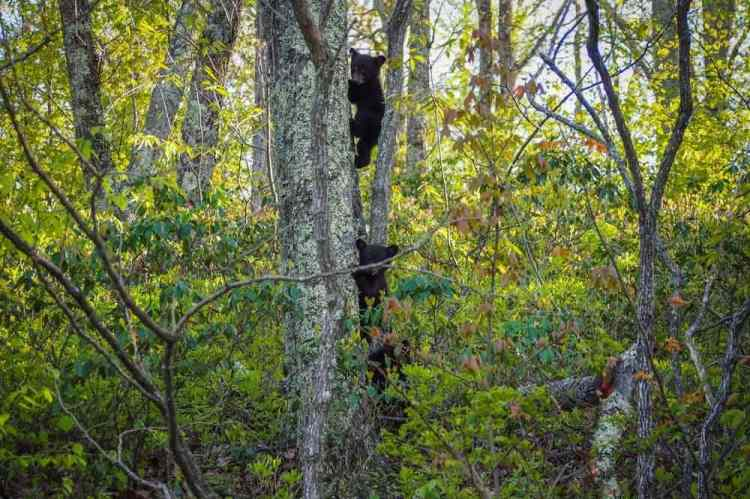 Black bear cubs, Shenandoah National Park