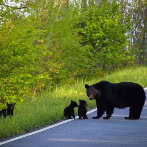Black bear with cubs, Shenandoah National Park
