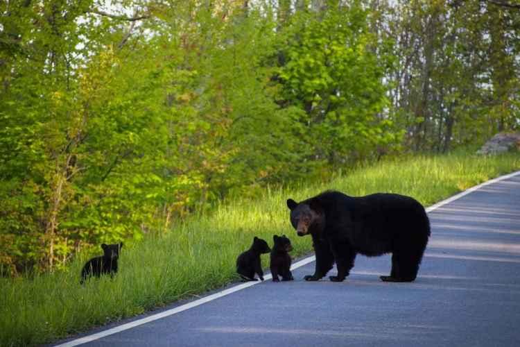 Black bear with cubs, Shenandoah National Park