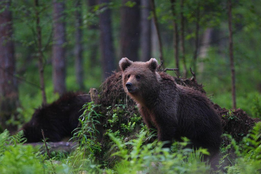 Brown bear in national parks in Estonia