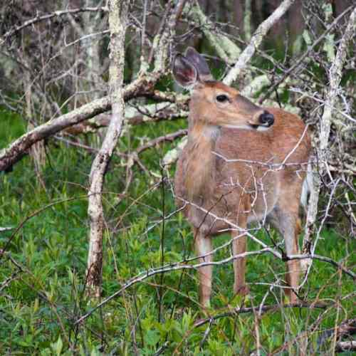 White-tailed deer in Big Meadows