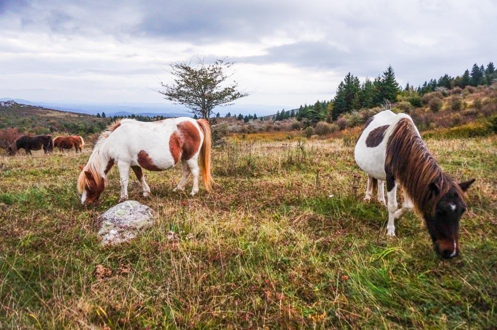 Wild ponies in Grayson Highlands
