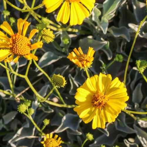 Desert sunflowers in the Anza-Borrego Desert
