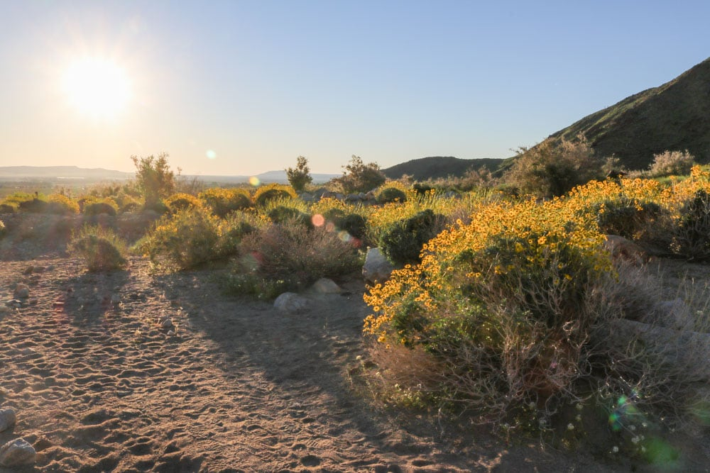 Anza Borrego Desert Wildflowers Superbloom Travel