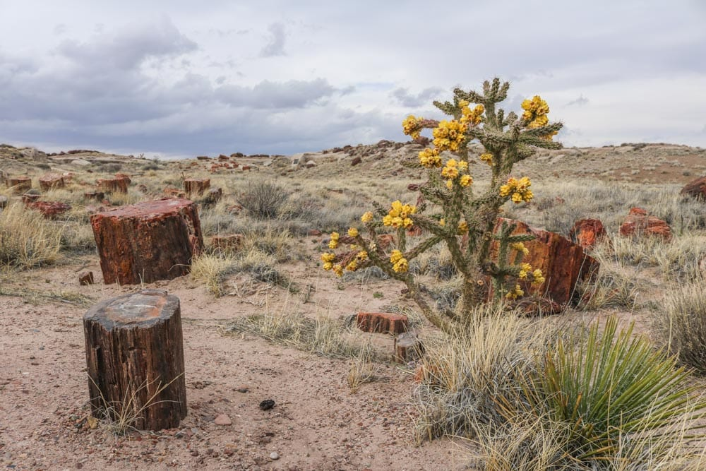 Flowering cactus, Giant Logs Trail in Petrified Forest National Park