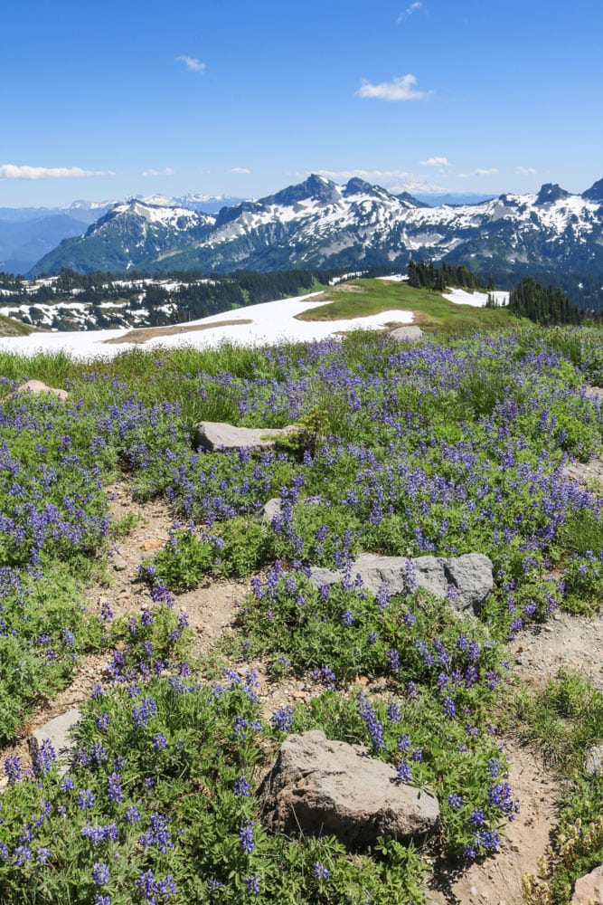 Lupine meadow, Mount Rainier National Park