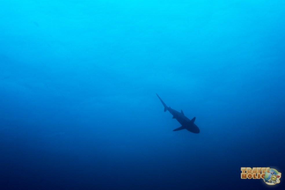 Requin à Raja Ampat