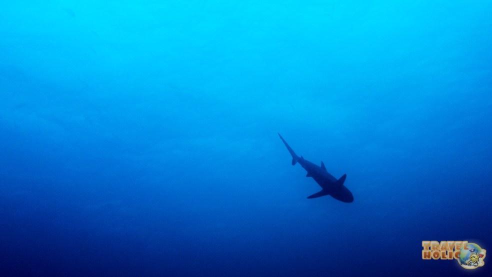 Requin croisé pendant une plongée