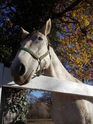 Lipizzaner behind the wooden fence